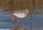 Archibebe comun (Tringa totanus), marismas santoña, aves, birds, birding, birdwatching