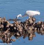 Garceta común (Egretta garzeta), marismas santoña, aves, birds, birding, birdwatching