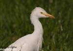 Garcilla bueyera (Bubulcus ibis), marismas santoña, aves, birds, birding, birdwatching