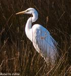 Garceta grande (Egretta alba), marismas santoña, aves, birds, birding, birdwatching