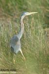 Garza real (Ardea cinerea), marismas santoña, aves, birds, birding, birdwatching