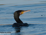Ciormoran grande (Phalacrocorax carbo), marismas santoña, aves, birds, birding, birdwatching