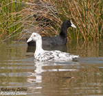 Focha común (Fulica atra), marismas santoña, aves, birds, birding, birdwatching
