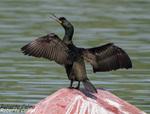 Cormorán moñudo (Phalacrocorax aristotelis), marismas santoña, aves, birds, birding, birdwatching