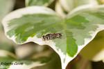 Hiedra (Hedera canariensis)