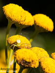 Tanaceto (Tanacetum vulgare)