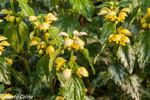 Ortiga muerta amarilla (Lamium galeobdolon)