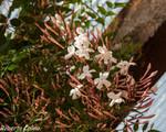 Jazmín (Jasminum grandiflorum)