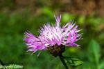 Centaurea (Centaurea sp.)