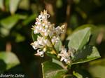 Aligustre (Ligustrum vulgare)
