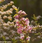 Veigela (Weigelia florida)
