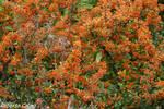 Espino de fuego (Pyracantha coccinea)
