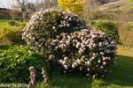 Durillo (Viburnum tinus)