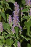 Agastache anisata, flora auxiliar, areitz soroa, agricultura ecológica