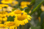 Anthemis sp., flora auxiliar, areitz soroa, agricultura ecológica