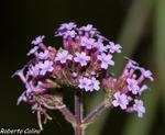Verbena bonaerensis, flora auxiliar, areitz soroa, agricultura ecológica
