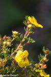 Potentilla fruticosa, flora auxiliar, areitz soroa, agricultura ecológica