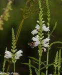 Physostegia virginiana, flora auxiliar, areitz soroa, agricultura ecológica