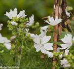 , flora auxiliar, areitz soroa, agricultura ecológica, malva blanca, Malva moschata