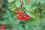 guillomo, cotoneaster salicifolius, flora auxiliar, areitz soroa, agricultura ecológica
