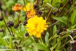 Tagete, Tagetes sp., flora auxiliar, areitz soroa, agricultura ecológica