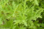 malvarrosa, Pelargonium capitatum, flora auxiliar, areitz soroa, agricultura ecológica