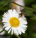 vitadinia, erigerum karvinskianus, flora auxiliar, areitz soroa, agricultura ecológica