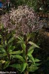 Eupatorium maculatum, flora auxiliar, areitz soroa, agricultura ecológica