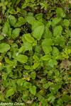 melisa, melisa officinale, flora auxiliar, areitz soroa, agricultura ecológica