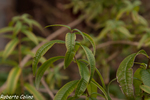 hierba luisa, Aloysia citrodora, flora auxiliar, areitz soroa, agricultura ecológica