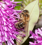 bee, honey bee, insecting, apis melifera, hebe andersonii