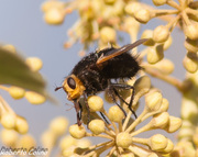 Tachina grossa, insecting, hedera canariensis