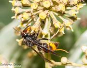 Vespa vetulina, insecting, avispa asiática