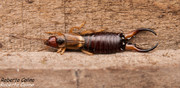 Tijereta (Forficula auricularia), insecting