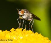 mosca, tanaceto, tanacetum vulgare, insecting