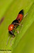 Paederus littoralis, insecting