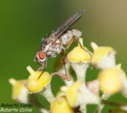 mosca, insecting, hedera canariensis, hiedra canaria