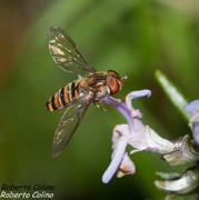 Sírfido Episyrphus balteatus, insecting