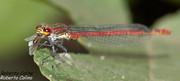 Pyrrhosoma nimphula