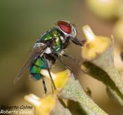 Lucilia caesar, insecting