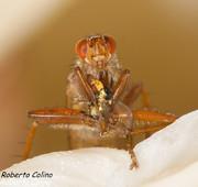 Scathophaga lutaria, insecting