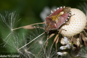 Chinche clueca (Elasmucha grisea), insecting