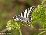 Papilio podalirius, insecting