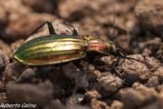 Carabus lineatus, insecting