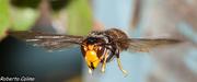 Vespa vetulina, insecting