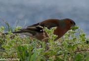 fringilla coelebs, chaffinch, pinzón común, aves Galdames, birds, birdwatching, birding