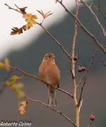 fringilla coelebs, chaffinch,pinzón común, aves Galdames, birds, birdwatching, birding