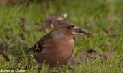 fringilla coelebs, pinzón común, aves Galdames, birds, birdwatching, birding, chaffinch