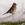 aves de Galdames, Pinzón común macho, Fringilla coelebs, chaffinch, birding, birdwatching