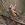 aves de Galdames, picogordo, coccothraustes coccothraustes, hawfinch,  birding, birdwatching